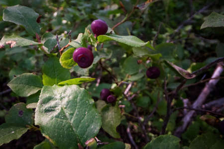 fresh ripe huckleberries on the plants in the forests of southern Oregon Stok Fotoğraf - 153848697