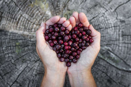 close up of a woman'ss hands holding a bunch of fresh ripe huckleberries in the shape of a heart over a rustic wooden background