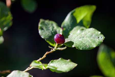 close up of a ripe red huckleberry on a plant with green leaves fading into a natural background Stok Fotoğraf - 154166266