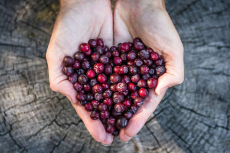 close up of a woman'ss hands holding a bunch of fresh ripe huckleberries in the shape of a heart over a rustic wooden background Stok Fotoğraf - 153849130
