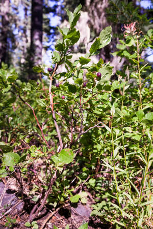 Wild huckleberries in the southern Oregon Cascades, still on the plants Stok Fotoğraf - 154166268