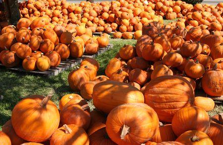 as far as the eye can see: Pumpkins as far as the eye can see