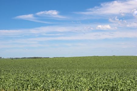 healthy cornfield with blue sky