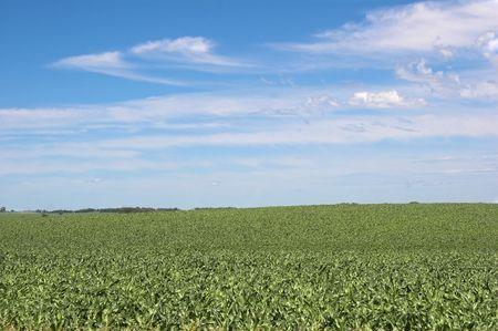 healthy cornfield with blue sky