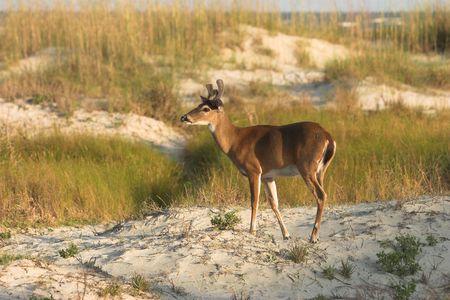odocoileus: white-tailed deer, odocoileus virginianus