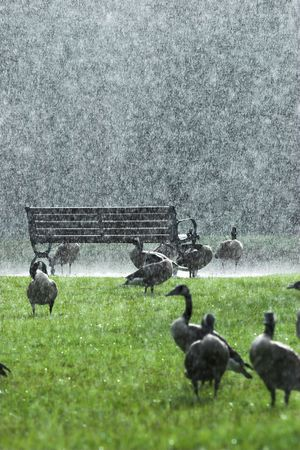 drench: geese standing out in a downpour