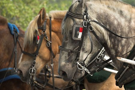 blinder: draft horses lined up ready for work Stock Photo
