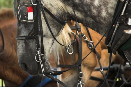 blinder: belgian horses lined up ready for work