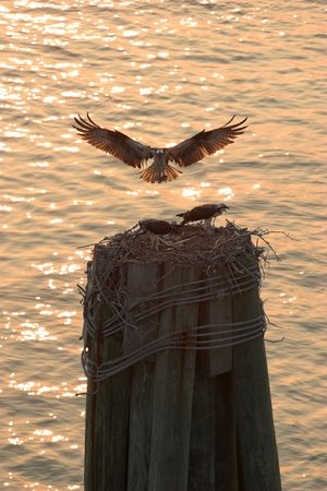 osprey: backlit osprey landing to feed its young Stock Photo