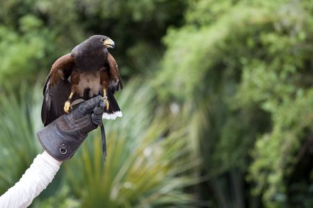 trained: hawk perched on glove ready to fly