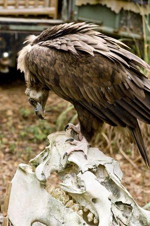 bird eating raptors: vulture standing on skull of hippo Stock Photo