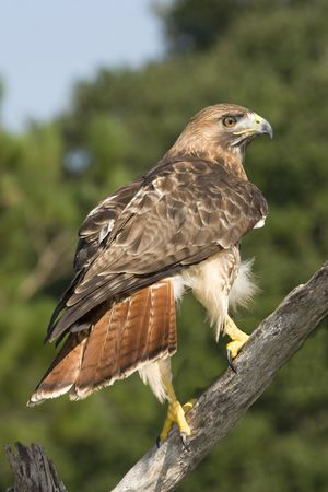 red tailed hawk perched on branch Standard-Bild