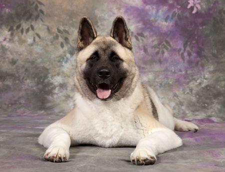 akita: akita dog shot in studio
