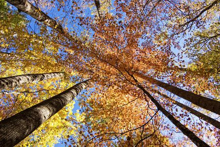 vibrant autumn colors in canopy Stock Photo - 6341923