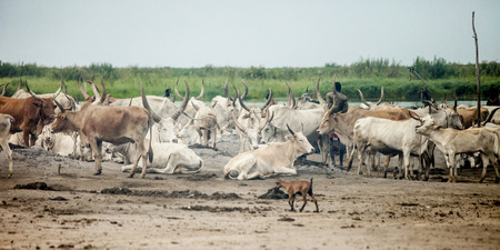 white nile: cattle and herders along the nile in south sudan