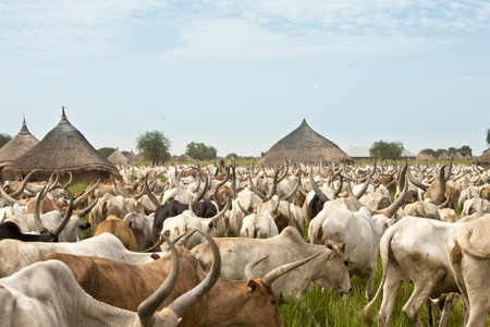 south sudan: large cattle drive through a village in South Sudan