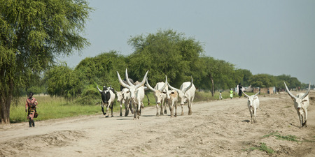 south sudan: BOR, SOUTH SUDAN: DECEMBER 4, 2010- Unidentified people herd cattle down a road in South Sudan Editorial