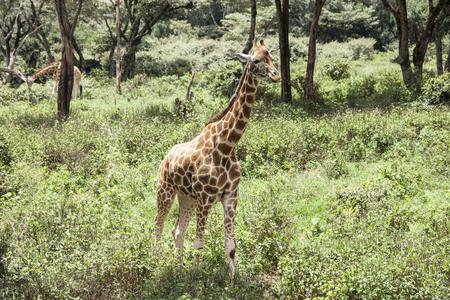 ecosystems: wild giraffe in forest in Kenya Stock Photo