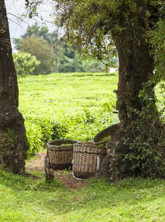 darjeeling: Baskets of fresh green tea at the edge of a tea plantation Stock Photo