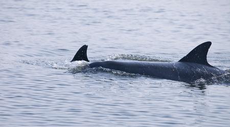 orificio nasal: madre y bebé delfines salvajes en mar abierto