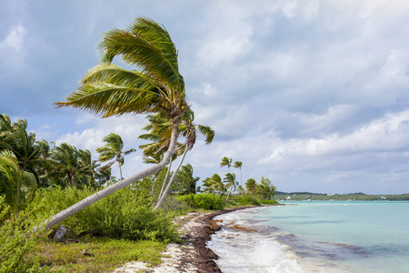 Coconut palms growing over the water in the Bahamas
