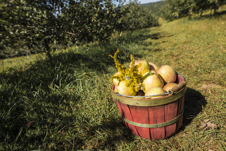 a crop: wide angle shot of fresh picked apples in basket in apple orchard