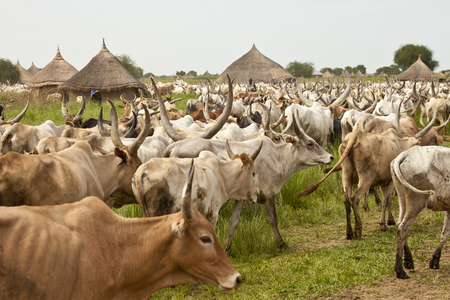 LILIIR, SOUTH SUDAN-JUNE 24, 2012: Unidentified villages herd cattle in South Sudan Stock Photo