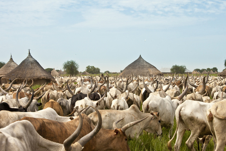 Huge herd of cattle moves through a rural village in South Sudan Stock Photo
