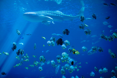 Underwater shot of whale shark and school of fish
