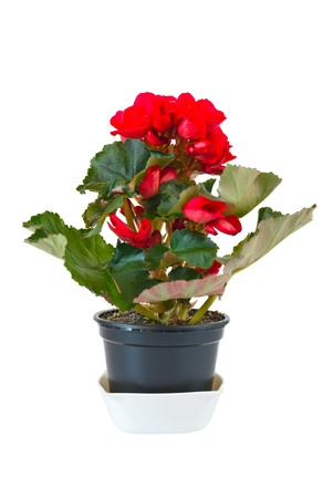 Red begonia in pot, isolated on white background