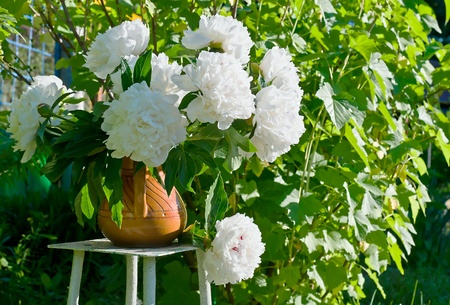 Bouquet of fresh white peonies in the garden