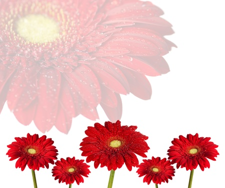 red gerbera flowers on white background Stock Photo