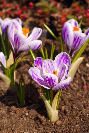 Crocus with veins, macro photo