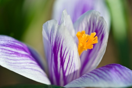 Crocus with veins, macro Stock Photo - 11795949