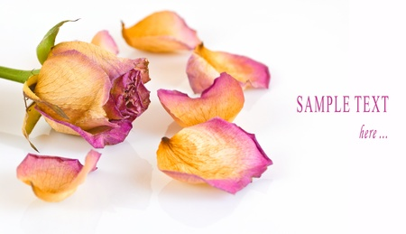 Dried rose and petals on a white background photo