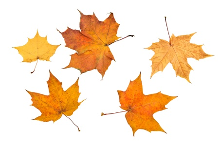 hojas secas: Oto�o hojas de arce sobre fondo blanco Foto de archivo