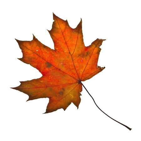Autumn maple leaf isolated on white background Stock Photo