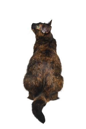 Tortoiseshell cat back sitting, isolated on white background