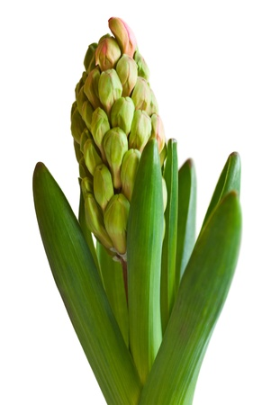 fresh hyacinth buds and leaf isolated on white  Stock Photo - 13573211