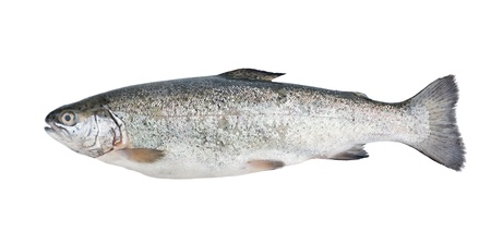 Fresh trout fish isolated on white background Stock Photo - 13830030