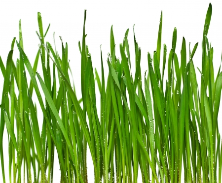 fresh spring green grass with water drop, isolated on white background  Stock Photo