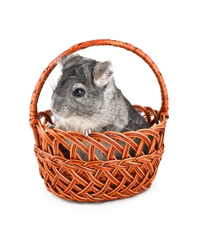 pet valuable: Gray chinchilla sitting in a basket, isolated on white background Stock Photo