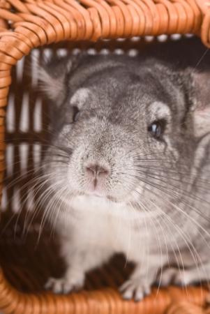 Gray chinchilla sitting in a basket, close-up