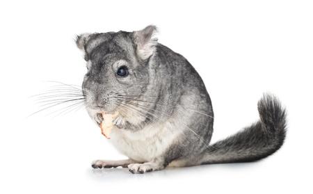Silver Chinchilla eating on isolated white background Stock Photo