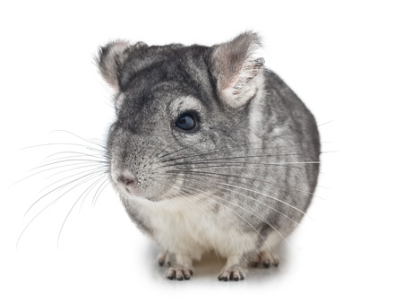 Silver Chinchilla sitting on isolated white background