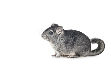 Young funny Chinchilla isolated on white background, with copy space for text