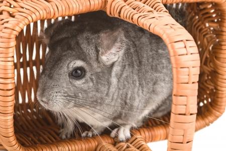 lanigera: Gray chinchilla sitting in a basket, close-up