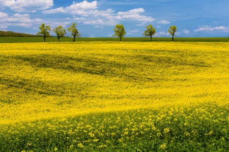 Yellow rapeseed field with wavy abstract landscape pattern. Moravian rolling landscape in yellow colors. Moravia, Czech Republic.