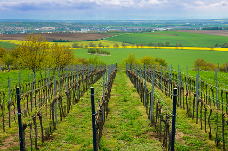 Rows of vineyards in summer, South Moravian Region, Czech Republic, near the village Bukovany