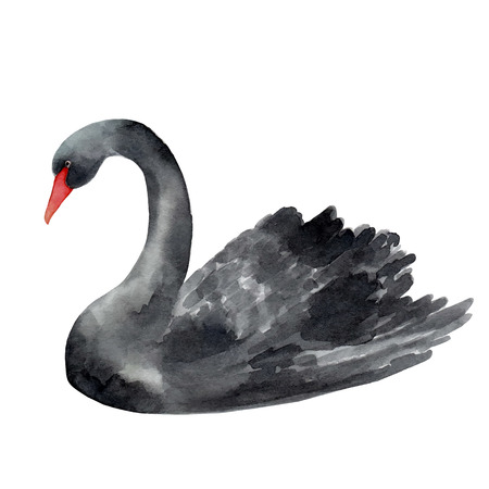 swan: Black Swan watercolor illustration on white background.